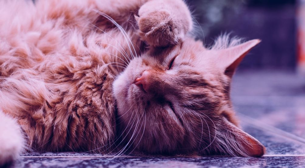 Popular Cat Breeds That You Can Adopt in The United States